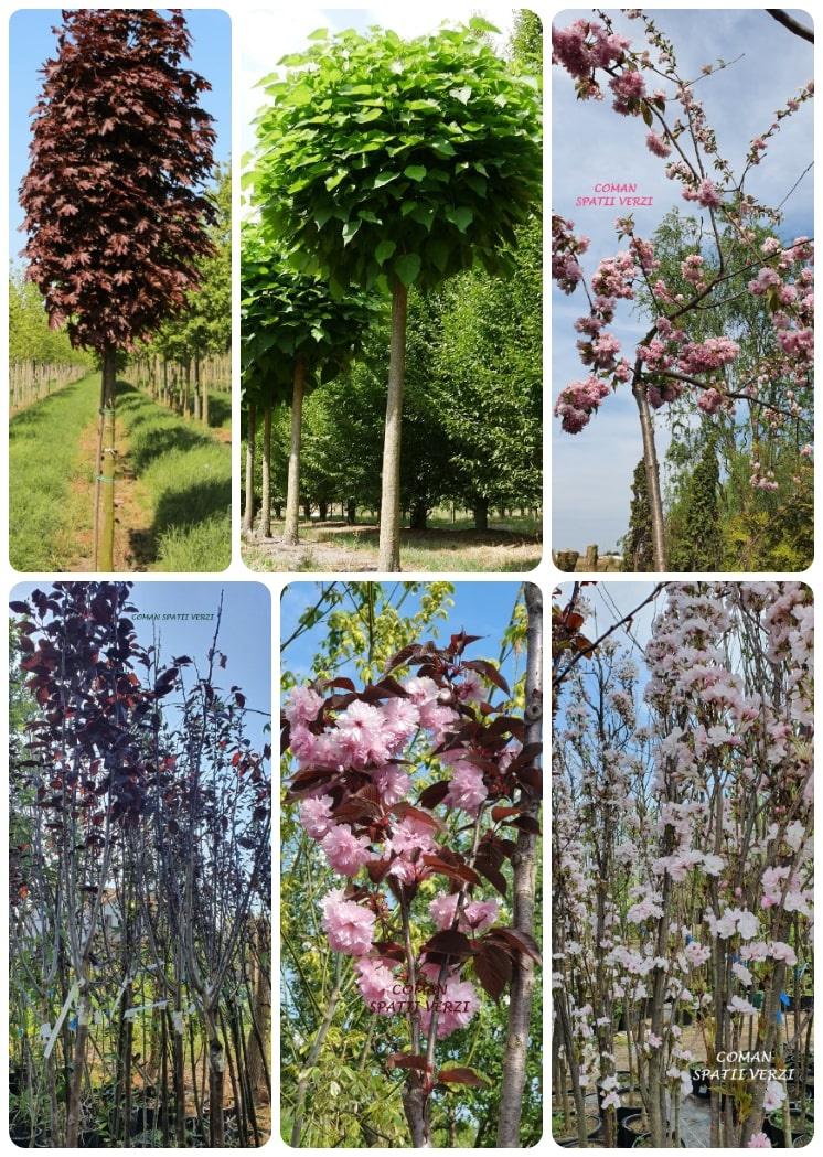 pomi plante decorative timisoara